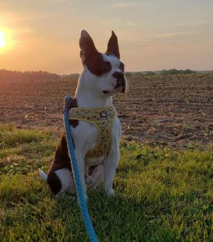 What a handsome boy Dugan is Dugan is a young Boston full of energy and loves to Clown around He