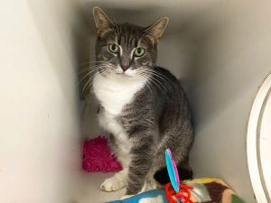 Primary Color Gray Tabby Secondary Color White Weight 116lbs Age 4yrs 2mths 0wks Animal has bee