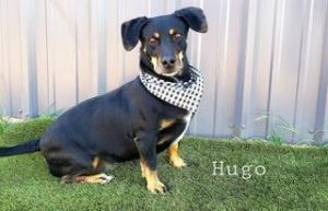 Hugo - Mixed breed 3 years old 45 lbs Needs a home with a yard Hugo is so cute He