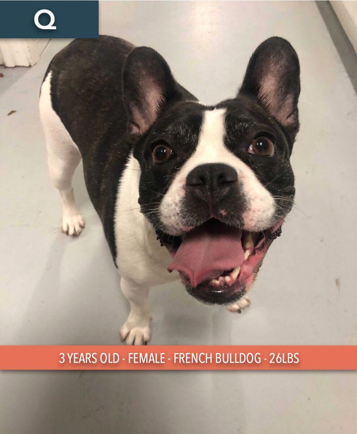 Q, an adoptable French Bulldog in Studio City, CA_image-2