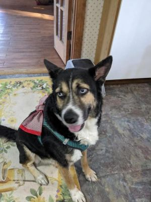 You can fill out an adoption application online on our official website Ed TX is a male Husky mix