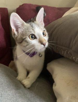 Dahlia Domestic Short Hair Cat