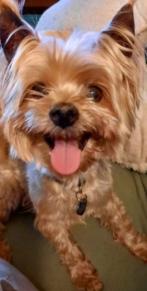 Riley is a 15 year old Yorkie He was surrendered to the shelter because his own
