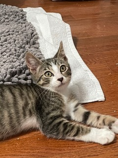 Colby is a darling 12 week old tabby boy This is from his foster family He is a bit shy