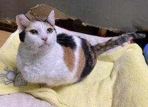Mewsette Calico Cat