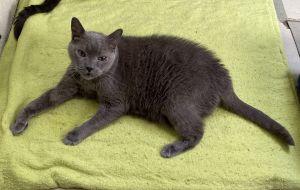 Pumpkin Domestic Short Hair Cat