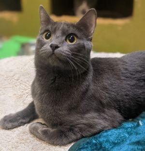 Pearl Domestic Short Hair Cat
