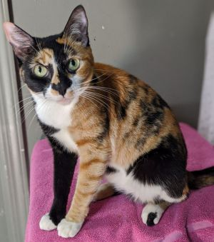 Sally Calico Cat