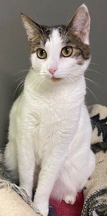 Cricket Domestic Short Hair Cat