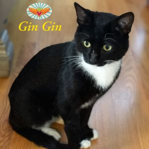 Gin Gin is a sweetheart who will greet you at the door with adorable little meows volume up on his
