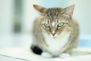 Sophie is a beautiful tabby that would love a quiet home She is outgoing and likes to play but isn