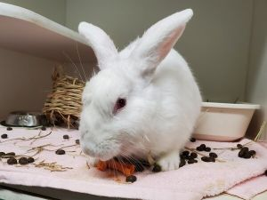 A volunteer writes Rabbit Deniro is a young New Zealand White female who will melt your heart This