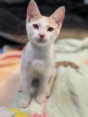 Slim Domestic Short Hair Cat