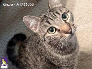KINZIE Domestic Short Hair Cat