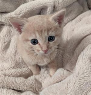 He is a very sweet playful boy Beautiful soft cream color fur He gets along with other cats He