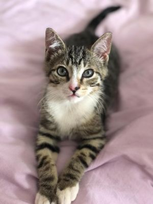 Alfie is an adorable and energetic 12-week old kitten who loves to pounce and play He loves zooming