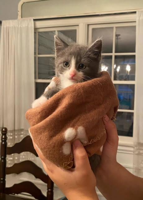 Myles (Lane kittens) 1