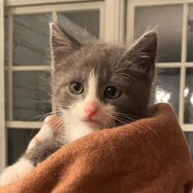 Myles (Lane kittens)