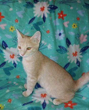 Chimi Domestic Short Hair Cat