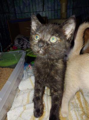 Nala Domestic Short Hair Cat