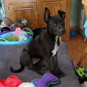 My name is Raspberry Razz for short I am an adorable little 35 month old puppy and just about 2