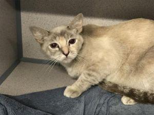I1353310 Domestic Short Hair Cat