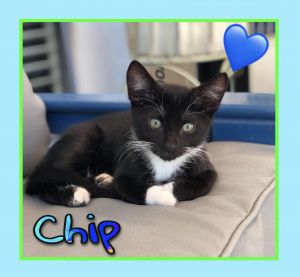 Chip Domestic Short Hair Cat