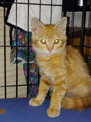 Sunshine Domestic Short Hair Cat