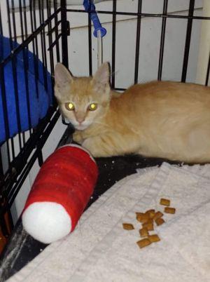 Winnie Domestic Short Hair Cat