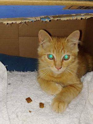 Marcus Domestic Short Hair Cat