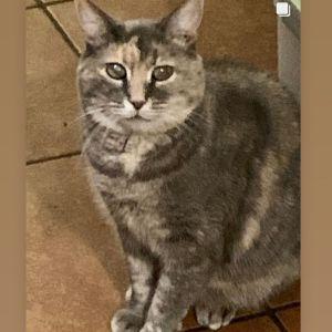 Shiloh Tortoiseshell Cat
