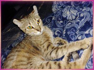 Feetsies American Curl Cat