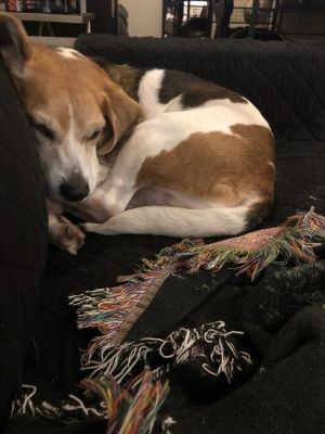 Ben de la Creme is 45lbs because he was fed too much cream This lovely 6y Beagle has to lose