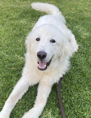 Linus Great Pyrenees Dog