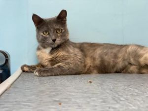 This beautiful dilute calico is Bertha She is a petite girl who enjoys sitting in the windows getti
