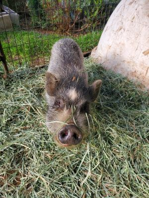 Meet Grams We rescued Grams are 2 other pigs from the Devore Animal Shelter in 2020 where they wer