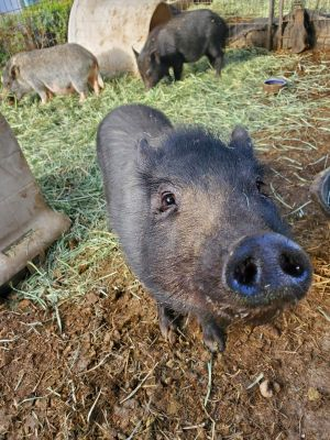 Meet Ant Eater We rescued Ant Eater and 2 other pigs from the Devore Animal Shelter in 2020 where
