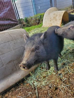 Meet Mama We rescued Mama and 2 other pigs from the Devore Animal Shelter in 2020 where they were