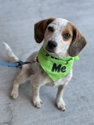 Damon is a beautiful 1 year young blue ticked beagle mix that was brought up to doggy daycare with h