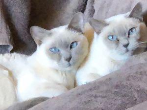 Dickens & Ivy Tonkinese Cat