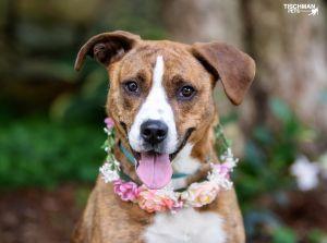 Daffodil Boxer Dog