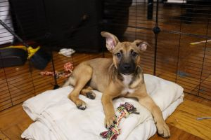MAGNOLIA 12 weeks 14lbs Shepherd Mix Spayed Estimated to Be About 50lbs Full Grown  High Activ