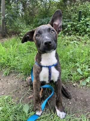 MABEL 12 weeks 11lbs Shepherd Mix Spayed Estimated to Be About 50lbs High Energy Our M pups ar