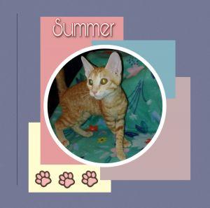 Sumner Domestic Short Hair Cat
