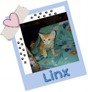 Linx Domestic Short Hair Cat