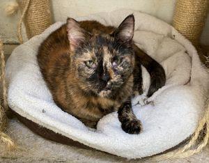 Sabrina Tortoiseshell Cat