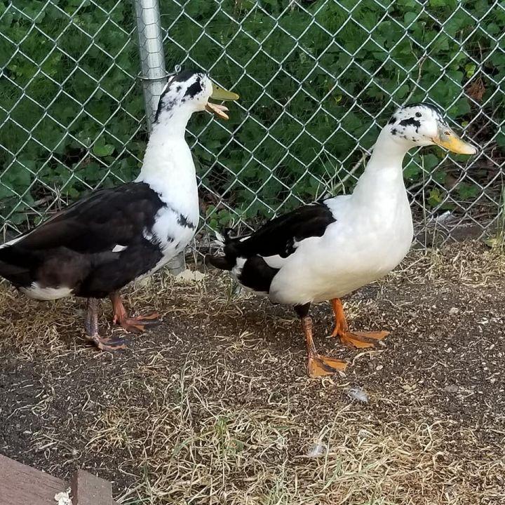 Moby Duck & Duck Norris  1