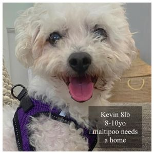 Kevin is an 8lb 8-10yo male maltipoo He was abandoned in a secluded wooded park very sick- he almost