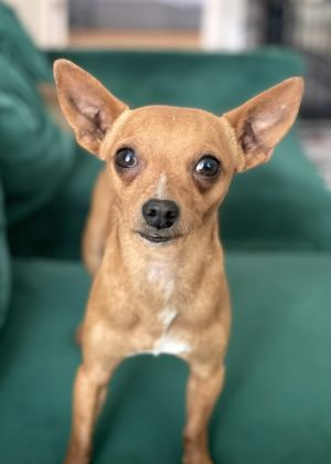 DODGER 3yrs old 7lbs Chi Mix Neutered male Medium Active Needs Home Out of