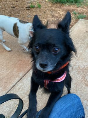Black Jack is a 3 year old neutered long haired Chihuahua mix who was rescued from a CT home that